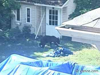 Bear first sighted in Dorval on Sunday afternoon captured several hours later - CANOE