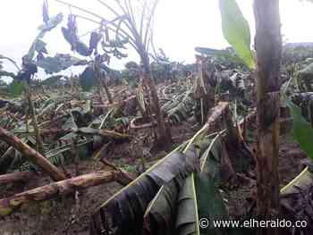 Fuertes vientos arrasan cultivos de plátano en Tierralta - EL HERALDO
