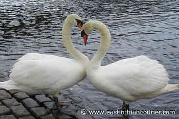 Lone swan finds new love on River Esk in Musselburgh - East Lothian Courier