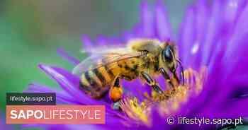 Espinho deixa crescer plantas e flores silvestres para ajudar as abelhas - SAPO Lifestyle