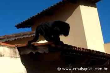 Moradora do setor Sul encontra macaco guariba no telhado de casa, em Goiânia - Mais Goiás