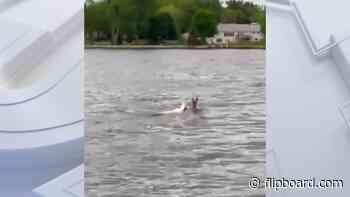 Rare albino deer spotted swimming in Lake Poygan in Winneconne - Flipboard