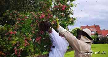 40.000 Bienen in einem Garten: Imker fangen ausgebüxte Schwärme in Hessisch Oldendorf ein - Mindener Tageblatt