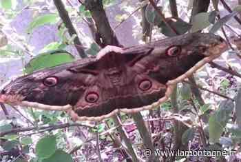 Un papillon XXL dans un buisson - Cusset (03300) - La Montagne
