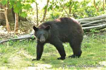 Black bear sightings on the rise in Deep River, officials say - New Haven Register