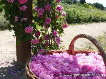 Tech - Grasse : Un actif cosmétique créé à partir de tiges de rosier - LES PETITES AFFICHES