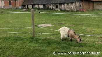 Au manoir du Fay d'Yvetot, une chèvre empoisonnée par des végétaux toxiques - Paris-Normandie