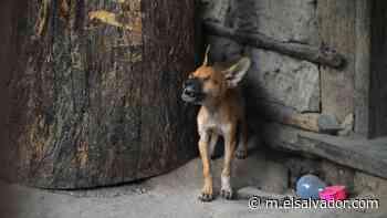 Mascotas quedaron abandonadas a su suerte en el éxodo de Panchimalco | Noticias de El Salvador - elsalvador.com