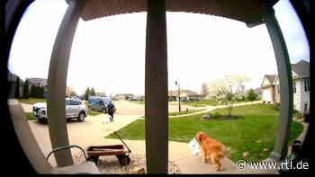 Pakete direkt vor der Tür verschwunden: Video überführt frechen Golden Retriever als Dieb - RTL Online