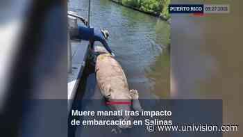 Muere manatí tras impacto de embarcación   Video   Univision Puerto Rico WLII - Univision