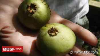 De cambuci a uvaia, conheça 5 frutos em risco de extinção na Mata Atlântica - BBC News Brasil - BBC News Brasil