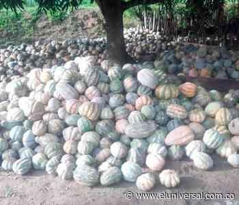 Más de cien toneladas de ahuyama se pierden en Achí - El Universal - Colombia