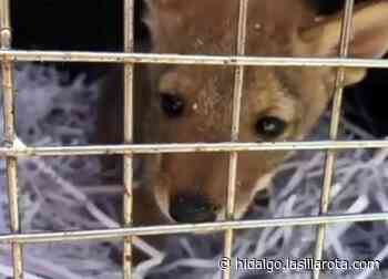 Rescatan dos coyotes cachorros en Mixquiahuala; los entregan a Semarnat - La Silla Rota