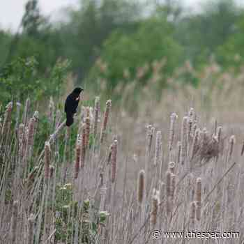 Imperiled Ancaster wetland full of wildlife, neighbours say - TheSpec.com