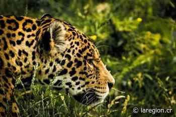 Colocan cercas eléctricas para evitar nuevos ataques de jaguares en Los Chiles - La Región