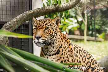 Una nueva casa para las jaguares en el Parque de la Conservación - Vivir en el poblado