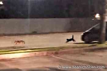 VIDEO: Little but fierce: Cat spotted chasing off coyote by Port Moody police – Saanich News - Saanich News