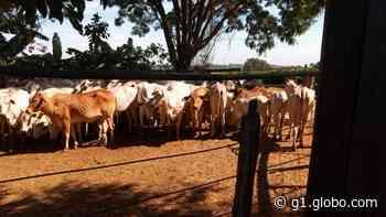 Polícia recupera em Pedregulho dezenas de cabeças de gado furtadas em Igarapava, SP - G1