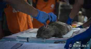Nutrie: a Sesto San Giovanni (Mi), non saranno uccise ma sterilizzate - LAV