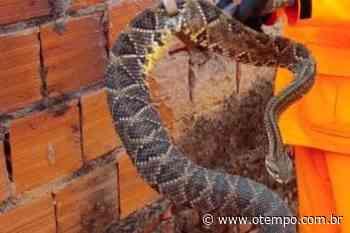 Bombeiros capturam cobra cascavel de aproximadamente 60 cm em Araguari - O Tempo