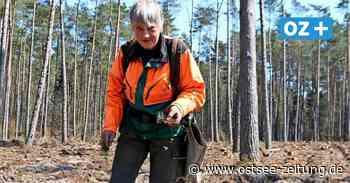 Junge Kiefern und Buchen für Wälder rund um Wolgast und auf Usedom - Ostsee Zeitung