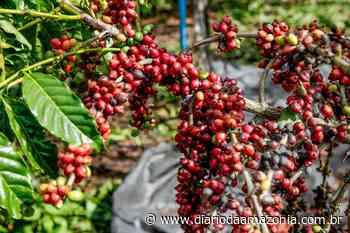 Emater pretende implantar 4 milhões de mudas de café em Ouro Preto do Oeste - Diário da Amazônia