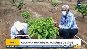 En Capira están cultivando una nueva variante de café - TVN Panamá