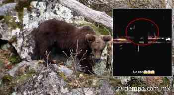 Así llegó oso a casas de El Charco anoche - El Tiempo de México