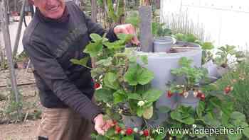 Aucamville : la tour fraisiers de Georges, passionné de jardinage - ladepeche.fr