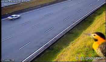 Pássaro pica-pau pousa em câmera de monitoramento da Rodovia dos Bandeirantes em Limeira - G1