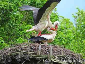 Freude über die Storchenpopulation in Rahden ist groß: 10 Nester sind in Rahden besetzt - Hüllhorst - Westfalen-Blatt