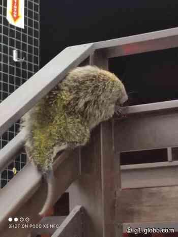 Porco-espinho é capturado em escada de prédio em SC; FOTOS - G1