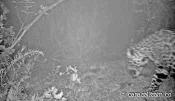 Con cámaras en los bosques descubren jaguares en Boyacá - Caracol Radio
