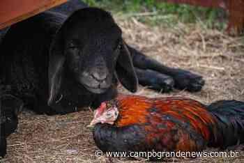 Rejeitado, cordeiro vira amigo de galo e os dois só dormem juntos - Campo Grande News