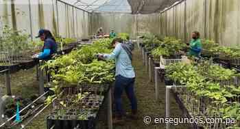 Producen más de 8 mil plantones de especies maderables en Boquete - En Segundos