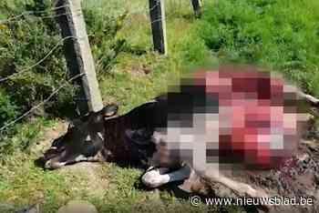 Voor eerst koe doodgebeten door wolf, boeren ongerust
