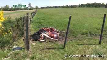 Wolf bijt koe dood in Oudsbergen