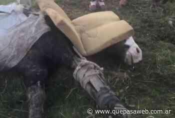 La muerte de un caballo rescatado por una ONG de Hurlingham destapa un negocio de millones de dólares - Que Pasa Web