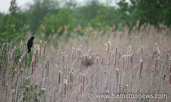 news Imperiled Ancaster wetland full of wildlife, neighbours say - HamiltonNews