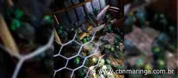 Tempestade de granizo mata papagaios e deixa centenas feridos - CBN Maringá