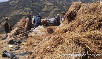 El trigo une a las familias de Cácota | Noticias de Norte de Santander, Colombia y el mundo - La Opinión Cúcuta