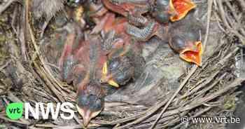 """Vogelopvangcentrum van Merelbeke zit overvol: """"Door stormweer waaien de nesten uit de bomen"""" - VRT NWS"""