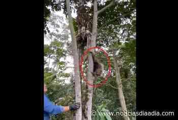 Rescatan y liberal osos perezosos en Silvania, Cundinamarca - Noticias Día a Día