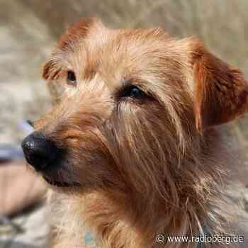 Hund Maya in Gummersbach entlaufen - radioberg.de