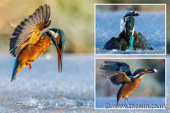 Kingfisher plunges into frozen lake to catch a fish in stunning snaps... - The Sun