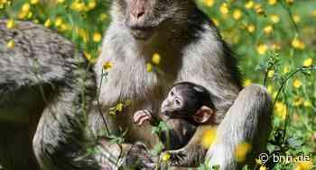 Vierfacher Nachwuchs am Affenberg Salem - BNN - Badische Neueste Nachrichten