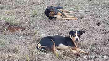 Cães ficam feridos ao serem atacados por porco-espinho no Bairro São Cristóvão - CGN
