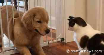 'Pawtner in Crime': Cat Helps Golden Retriever Escape Room - Sputnik International