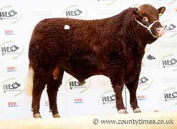 Homebred bull breaks Welshpool livestock centre record - Powys County Times