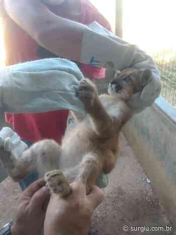 Naturatins resgata filhote de onça parda em Natividade - Surgiu